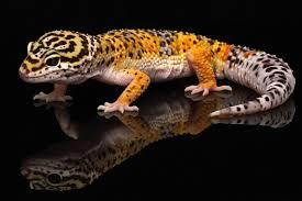 My Leopard Gecko is My Friend