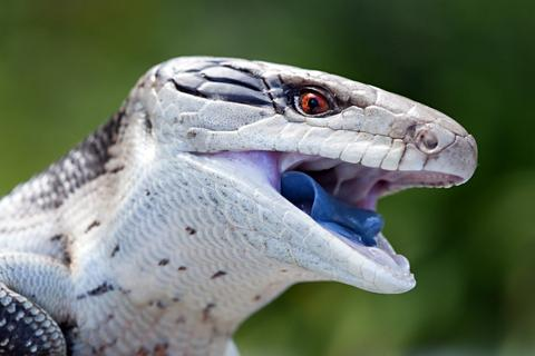 Blue Tongue Skink Care Guide