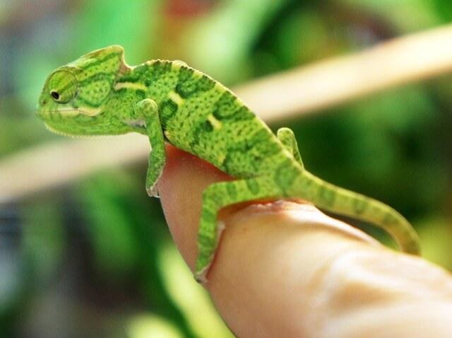 Veiled Chameleon Care Guide