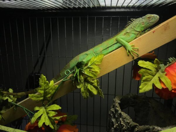 Green Iguana Care Guide
