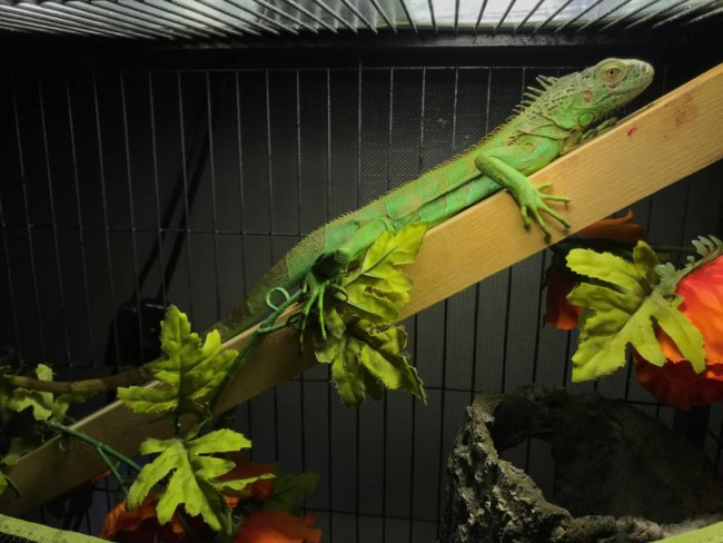 Green Iguana Care Guide