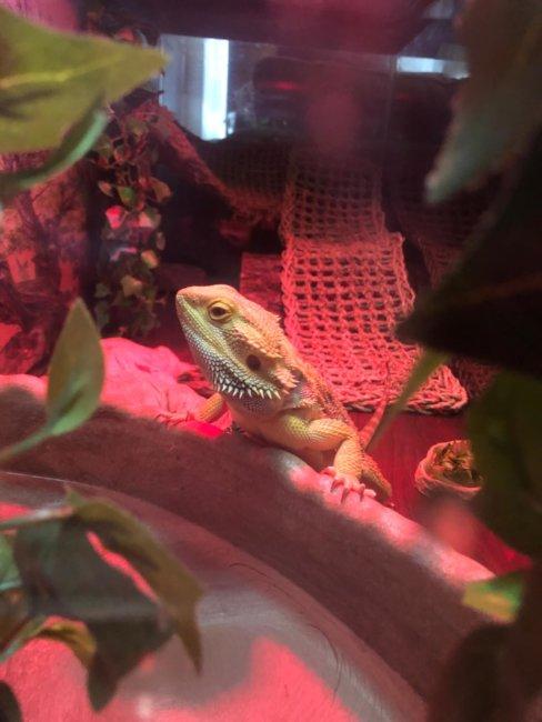 Spike our awesome Lizard