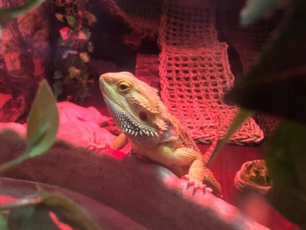 Spike our awesome Lizard